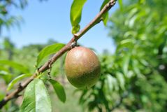 Small green unripe nectarine on the tree in an orchard Stock Photos