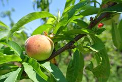 Small green unripe peach on the tree in an orchard Stock Photo