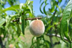 Small green unripe peach on the tree in an orchard Stock Image