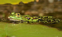 Small green water frog in a pond royalty free stock photo