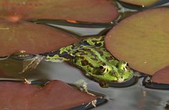 Small green water frog in a pond. Small green waterfrog in a pond royalty free stock images