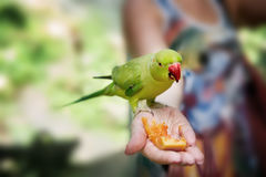 Small green wild parrot in the rainforest sitting on hand, eating a piece of mango. Selective focus.Copy space. Close-up. Royalty Free Stock Image