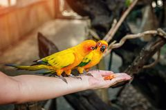 Small green and yellow parrot wild in the rainforest sitting on hand, eating a piece of mango. Selective focus. Close. Copy the pl Stock Photo