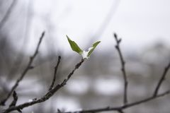A small green young leaf on a branch of a frozen tree on which white snow, the concept of life, the position of the center.  royalty free stock image