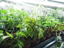 Greenhouse. A small greenhouse in the building. Greenshelf royalty free stock photography