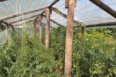 Small greenhouse with tomato plants. Inside view of a small domestic greenhouse, in the summer, full of tomato plants, with tomatoes unriped stock photo