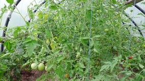 Small greenhouse with tomatoes stock video