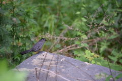 Small Grey Bird. Perched on a rock Stock Photo