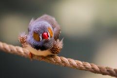 Small grey blue bird with orange cheeks Royalty Free Stock Photos