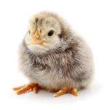 Small grey chicken. Stock Photos