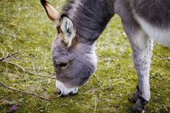 Small grey Donkey Stock Photo