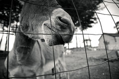 Small grey Donkey Royalty Free Stock Photography