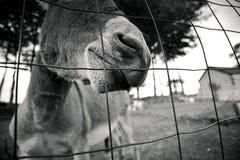Small grey Donkey Royalty Free Stock Photography