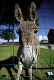 Small grey Donkey Stock Images