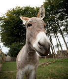 Small grey Donkey Royalty Free Stock Photo