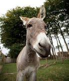 Small grey Donkey Royalty Free Stock Photo