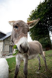Small grey Donkey Royalty Free Stock Images