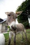 Small grey Donkey Royalty Free Stock Images