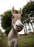 Small grey Donkey Stock Image