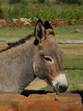A small grey donkey in a stable Royalty Free Stock Photo