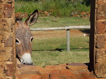 A small grey donkey in a stable Royalty Free Stock Images
