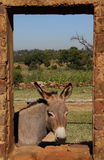 A small grey donkey in a stable Stock Photography