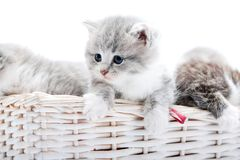 Small Grey Fluffy Adorable Kitten Being Curious And Looking To The Side While Others Playing Together In White Wicker Royalty Free Stock Photography