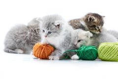 Small grey fluffy adorable kitten playing with orange wool ball while other kitties are playing with green yarn balls in. Small grey fluffy adorable kitten is Stock Image