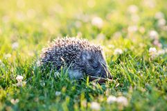 Small hedgehog in the grass Royalty Free Stock Photos