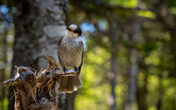 Small Grey Jay perched on a tree. Stock Photos