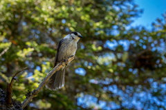 Small Grey Jay perched on a tree. Stock Photography