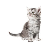 Small grey  kitten Stock Image