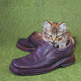 Small grey kitten. Small grey striped kitten plays with master's footwear Stock Photography