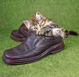 Small grey kitten. Small grey striped kitten plays with master's footwear Royalty Free Stock Photography