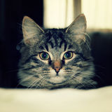 Small grey kitten looking after his human - retro photo. Tabby pet cat peeks over a bed - toned effect. Small grey cat peeking over the bed - retro photo. Grey Stock Images