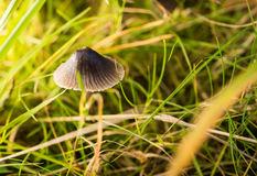 Small grey mushroom grows in a grass Royalty Free Stock Image