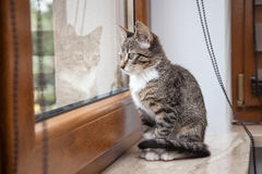 Small grey pet kitten indoor with reflection Stock Photography