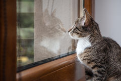 Small grey pet kitten indoor with reflection Stock Photo