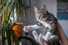 Small grey pet kitten playing indoor Stock Photo