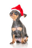 Small grey puppy in a santa hat Royalty Free Stock Photos