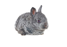 Small grey rabbit Stock Images
