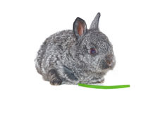 Small grey rabbit Royalty Free Stock Photo