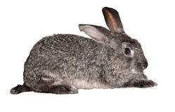 Small grey rabbit isolated on white Stock Images