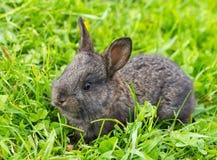 Small grey rabbit Royalty Free Stock Photo
