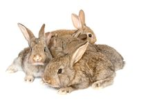 Small grey rabbits Stock Photo