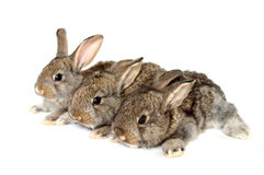 Small grey rabbits. On a white background Royalty Free Stock Photos