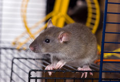 The small grey rat. Sits in a cage Stock Photos
