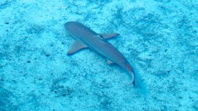 Small grey shark swimming peacefully. Grey shark swimming peacefully close to the sand in the warm shallow water of the Bahamas royalty free stock photography