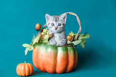 Small grey striped kitten sitting in a pumpkin basket royalty free stock photo