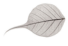 Small grey transparent dried fallen leaf Stock Photo